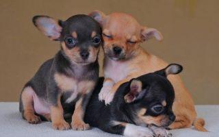 Самое интересное о щенках чихуахуа