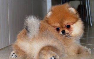 Описание щенков померанского шпица