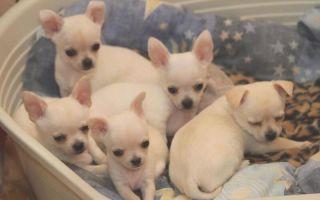 ТОП самых маленьких собак в Мире