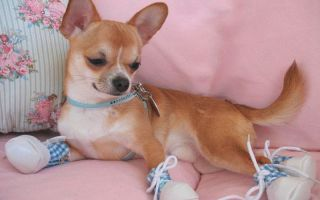 Описание породы собачки чихуахуа