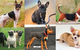 Описание маленьких пород собак: гладкошерстные