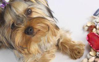 Клички для собак мальчиков породы йоркширский терьер