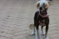 Китайская хохлатая собака: правильный уход и содержание