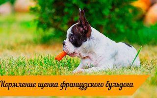 Чем нужно кормить щенка французского бульдога?