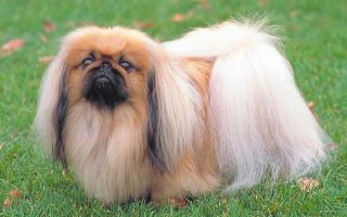 Характеристика собаки пекинес