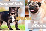 Кого выбрать мопса или французского бульдога?