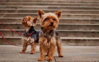Как выбрать кличку для собаки девочки йоркширского терьера