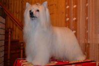 Описание китайской хохлатой пуховой собаки
