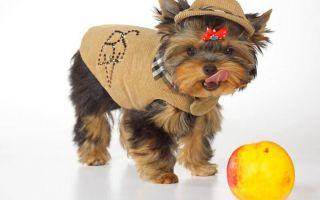 Чем нужно кормить щенка йоркширского терьера?