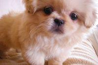 Как назвать щенка пекинеса девочку?