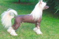 Описание породы китайской хохлатой собаки