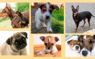 Описание маленьких короткошерстных пород собак