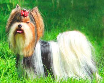 Собака бивер