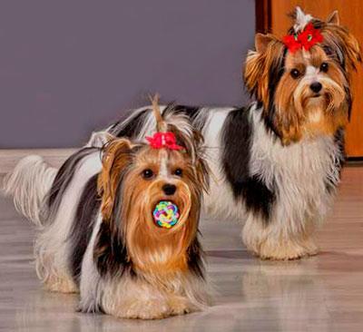 Две собаки бивер