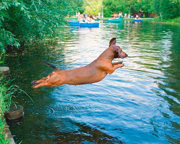 Такса прыгает в воду