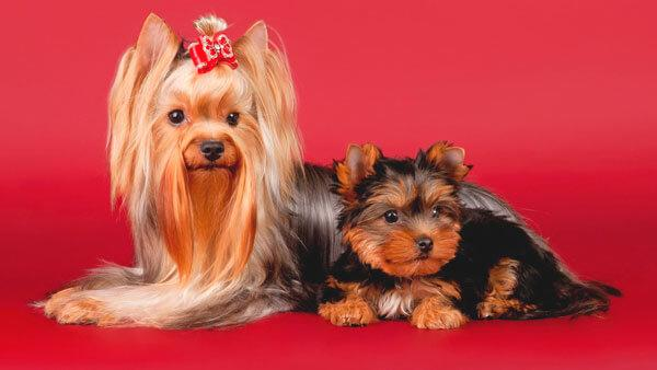Йорк мама и щенок