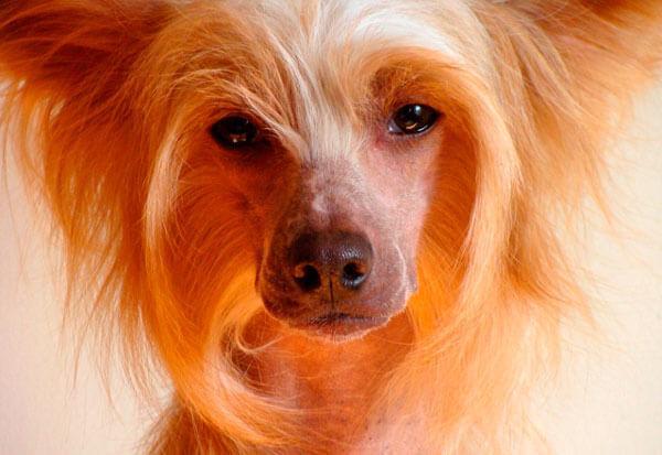 Китайская хохлатая собака морда