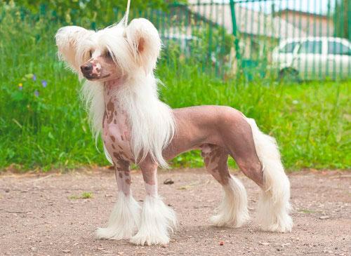 Китайская хохлатая собака на улице