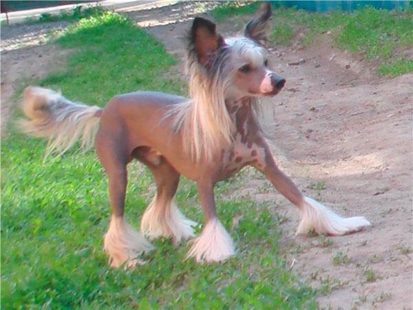 Китайская хохлатая собака на прогулке