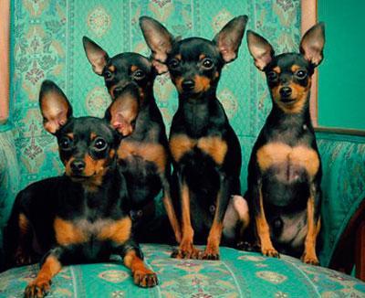 Пражский крысарик четыре щенка