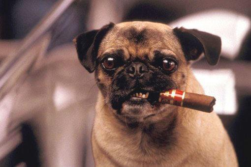 Мопс с сигарой
