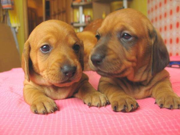 Два щенка таксы