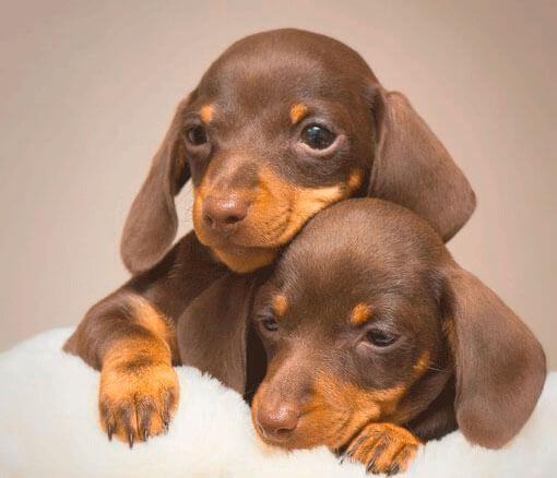 Два щенка таксы грустят
