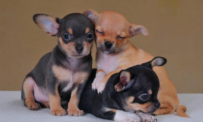 Три щенка чихуахуа