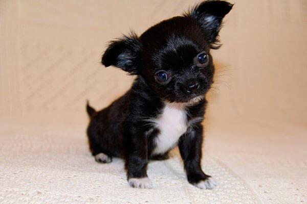 Черный щенок чихуахуа