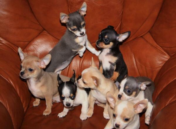 Кресло полное щенками чихуахуа