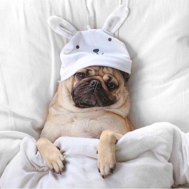 Мопс в кровати в шапочке зайца