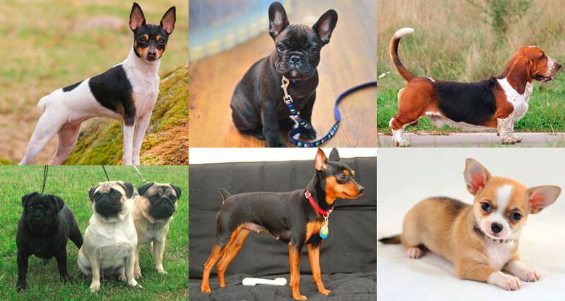 Подборка гладкошерстных собак