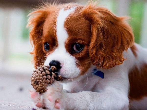 Собака кинг чарльз спаниель бело-рыжая