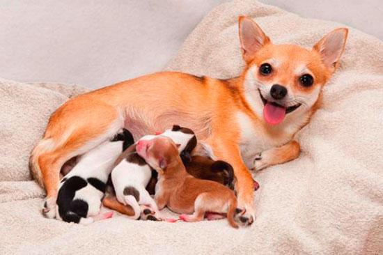 Чихуахуа с щенками