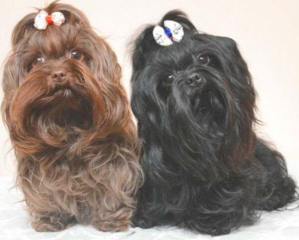 Собаки цветной болонки