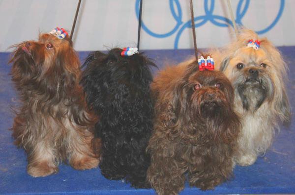 Собаки Цветной болонки на выставке