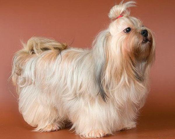 Собака цветная болонка