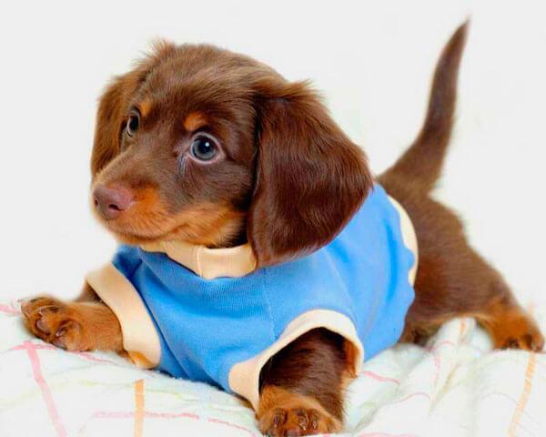 Такса щенок