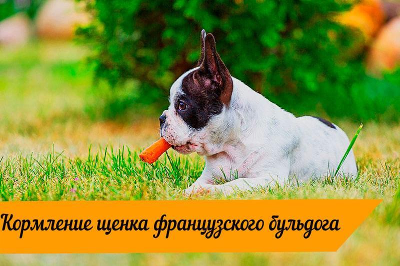 Французский бульдог с морковкой