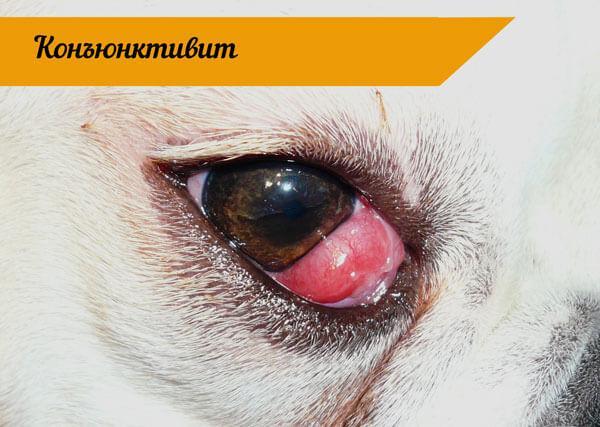 Глаз французского бульдога с заболеванием конъюктивит