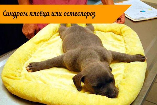 Собака с болезнью пловца