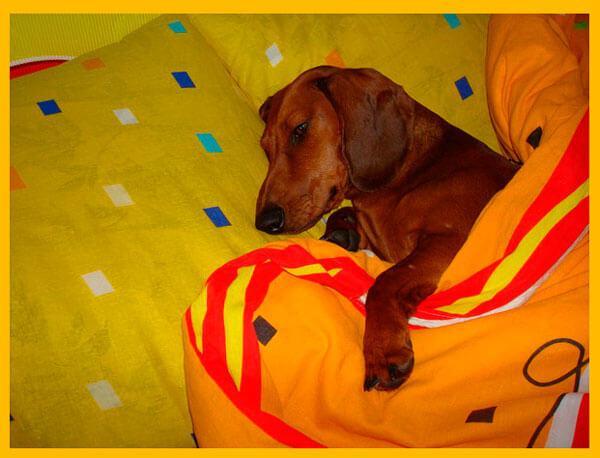 Такса спит в кровати