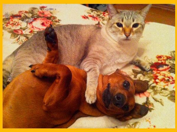 Такса и кошка