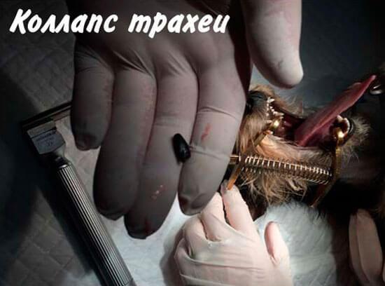 Чихуахуа с заболеванием коллапс трахеи