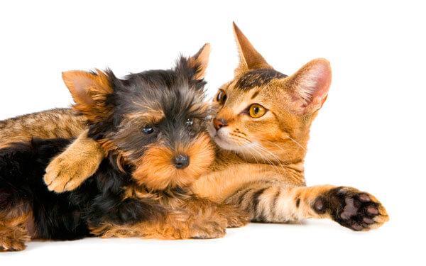 Щенок йорка и кошка
