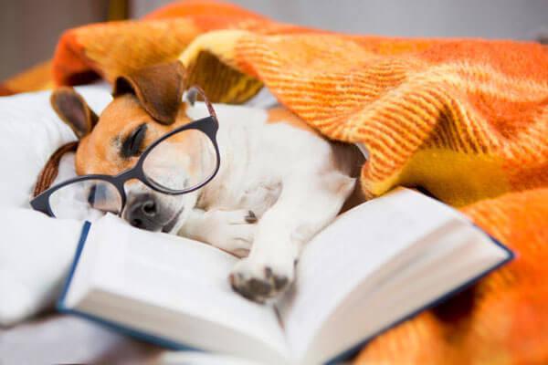 Джек рассел спит с книгой