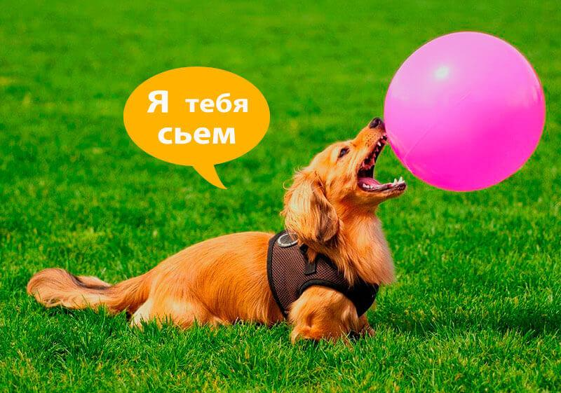 Такса и воздушный шарик