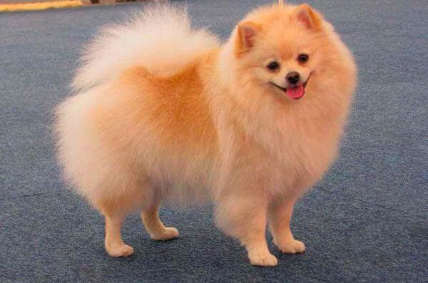Собака малый немецкий шпиц кремового окраса