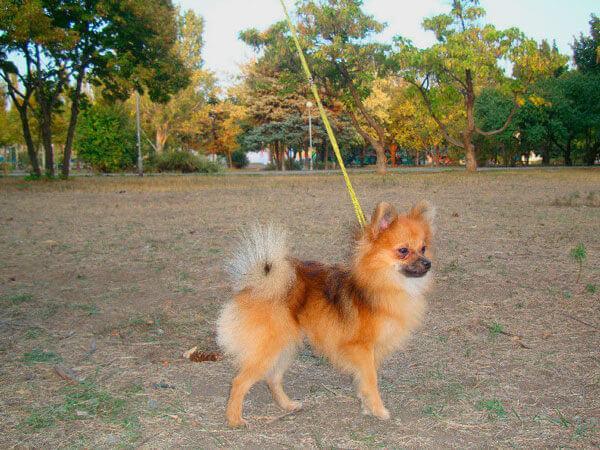 Собака малый немецкий шпиц на прогулке