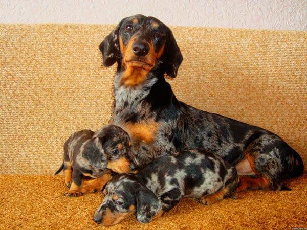 Мама мраморная такса и щенки